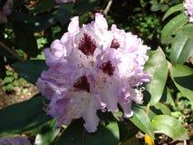 Ελαφρύ ιώδες rhododendron στο βοτανικό κήπο στοκ φωτογραφία