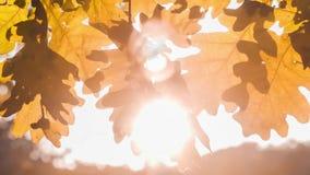 Ελαφρύ παιχνίδι ήλιων μέσω των δρύινων φύλλων δέντρων Αναδρομικά φωτισμένες ακτίνες που λάμπουν μέσω του φυλλώματος Αρχή φθινοπώρ φιλμ μικρού μήκους
