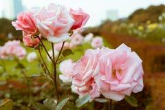 Ελαφρώς μαραμένα ανοικτό ροζ τριαντάφυλλα κατά τη διάρκεια του φθινοπώρου στον εθνικό κήπο Shinjuku Gyoen, Τόκιο, Ιαπωνία στοκ φωτογραφίες με δικαίωμα ελεύθερης χρήσης