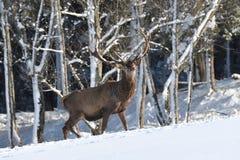 Ελαφόδερμα Deers που περπατά στο χειμερινό χιόνι στοκ εικόνα με δικαίωμα ελεύθερης χρήσης