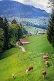 Ελβετικές αγελάδες σε έναν τομέα χλόης στο frutigen στοκ εικόνα με δικαίωμα ελεύθερης χρήσης