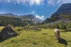 Ελβετικές αγελάδες στη διαδρομή υψηλών βουνών μέσω του περάσματος Gemmi σε Swit Στοκ φωτογραφίες με δικαίωμα ελεύθερης χρήσης