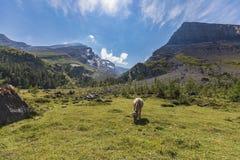 Ελβετικές αγελάδες στη διαδρομή υψηλών βουνών μέσω του περάσματος Gemmi σε Swit Στοκ εικόνες με δικαίωμα ελεύθερης χρήσης