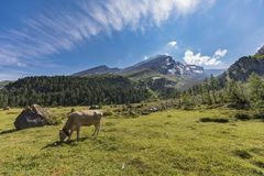 Ελβετικές αγελάδες στη διαδρομή υψηλών βουνών μέσω του περάσματος Gemmi σε Swit Στοκ Εικόνα