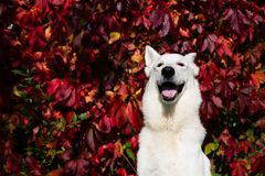 ελβετικό λευκό ποιμένων σκυλιών Στοκ Εικόνες