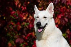 ελβετικό λευκό ποιμένων σκυλιών Στοκ εικόνες με δικαίωμα ελεύθερης χρήσης