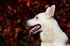 ελβετικό λευκό ποιμένων σκυλιών Στοκ Φωτογραφία