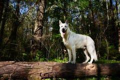 ελβετικό λευκό ποιμένων σκυλιών Στοκ Φωτογραφίες