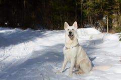 ελβετικό λευκό ποιμένων σκυλιών Στοκ φωτογραφίες με δικαίωμα ελεύθερης χρήσης