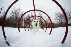 ελβετικό λευκό ποιμένων σκυλιών Στοκ εικόνα με δικαίωμα ελεύθερης χρήσης