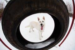 ελβετικό λευκό ποιμένων σκυλιών Στοκ Εικόνα