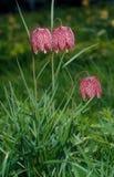 Ελεγμένο daffodil Στοκ Εικόνες