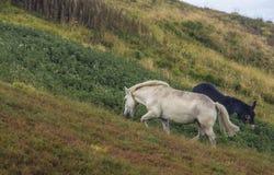 Ελεύθερα άλογα στο λιβάδι βουνών στοκ εικόνες με δικαίωμα ελεύθερης χρήσης