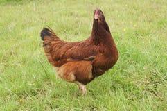 ελεύθερη σειρά κοτόπουλου Στοκ φωτογραφία με δικαίωμα ελεύθερης χρήσης