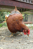 ελεύθερη σειρά κοτόπου&la Στοκ Εικόνα