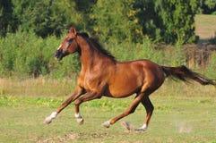 ελεύθερο άλογο κάστανων Στοκ φωτογραφίες με δικαίωμα ελεύθερης χρήσης