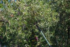 Ελιές επιλογής ατόμων από το δέντρο που χρησιμοποιεί την τηλεσκοπική ηλεκτρική μηχανή Ιταλική παραγωγή πετρελαίου ελιών, οργανικό Στοκ φωτογραφίες με δικαίωμα ελεύθερης χρήσης