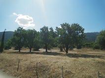 Ελιές στην Αθήνα Ελλάδα στοκ εικόνες