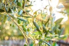 Ελιές στον κλάδο ελιών με την ηλιοφάνεια στο υπόβαθρο στοκ εικόνα με δικαίωμα ελεύθερης χρήσης