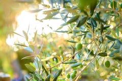 Ελιές στον κλάδο ελιών με την ηλιοφάνεια στο υπόβαθρο στοκ εικόνες