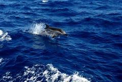 Ελληνικό δελφίνι jumpin επάνω από την επιφάνεια στοκ φωτογραφία