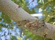 Ελληνικό cicada Στοκ εικόνα με δικαίωμα ελεύθερης χρήσης