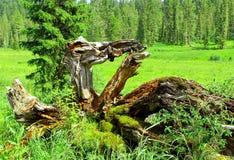 Εμπλοκή στο σιβηρικό taiga στοκ φωτογραφία με δικαίωμα ελεύθερης χρήσης