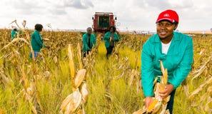 Εμπορικός αραβόσιτος που καλλιεργεί στην Αφρική στοκ φωτογραφίες