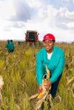 Εμπορικός αραβόσιτος που καλλιεργεί στην Αφρική στοκ εικόνες