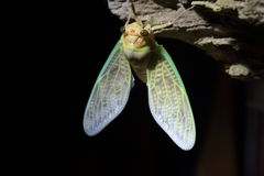 Εμφάνιση μεγάλο καφετί Cicada Στοκ Φωτογραφίες
