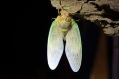 Εμφάνιση μεγάλο καφετί Cicada Στοκ φωτογραφίες με δικαίωμα ελεύθερης χρήσης