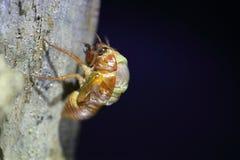 Εμφάνιση μεγάλο καφετί Cicada Στοκ Εικόνες