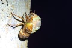 Εμφάνιση μεγάλο καφετί Cicada Στοκ Φωτογραφία