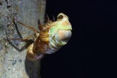 Εμφάνιση μεγάλο καφετί Cicada Στοκ εικόνες με δικαίωμα ελεύθερης χρήσης