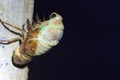 Εμφάνιση μεγάλο καφετί Cicada Στοκ φωτογραφία με δικαίωμα ελεύθερης χρήσης