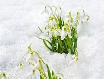 εμφανίστε snowdrops στοκ εικόνα