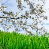 ενάντια ανασκόπησης μπλε σύννεφων πεδίων άσπρο σε wispy ουρανού φύσης χλόης πράσινο πράσινο δέντρο μηλιάς λουλουδιών χλόης και άν Στοκ Εικόνες