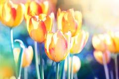 ενάντια ανασκόπησης μπλε σύννεφων πεδίων άσπρο σε wispy ουρανού φύσης χλόης πράσινο Μαλακό λουλούδι τουλιπών εστίασης Στοκ Εικόνες