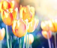 ενάντια ανασκόπησης μπλε σύννεφων πεδίων άσπρο σε wispy ουρανού φύσης χλόης πράσινο Μαλακό λουλούδι τουλιπών εστίασης Στοκ Εικόνα