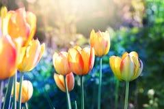 ενάντια ανασκόπησης μπλε σύννεφων πεδίων άσπρο σε wispy ουρανού φύσης χλόης πράσινο Λουλούδι τουλιπών στην άνθιση Στοκ Φωτογραφία