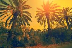 ενάντια στα δέντρα ηλιοβασιλέματος φοινικών Στοκ φωτογραφία με δικαίωμα ελεύθερης χρήσης