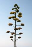 ενάντια στην αγαύη επίσης ως μπλε ουρανό φυτών αιώνα γνωστό λουλούδι succulent Στοκ Φωτογραφία