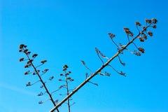ενάντια στην αγαύη επίσης ως μπλε ουρανό φυτών αιώνα γνωστό λουλούδι succulent Στοκ φωτογραφία με δικαίωμα ελεύθερης χρήσης