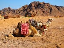 ενάντια στις καμήλες ανα&si Στοκ Εικόνες