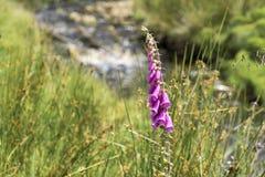 ενάντια στις μπλε digitalis άγρια περιοχές ουρανού purpurea λουλουδιών foxglove Στοκ Εικόνες