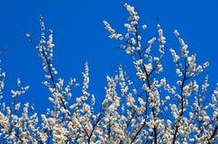 ενάντια στον ανθίζοντας ουρανό ανασκόπησης βερίκοκων Στοκ εικόνες με δικαίωμα ελεύθερης χρήσης