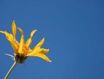 ενάντια στον μπλε ουρανό λουλουδιών κίτρινο Στοκ Φωτογραφίες