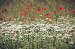 ενάντια στον μπλε ουρανό λουλουδιών μαργαριτών κίτρινο Στοκ Φωτογραφίες