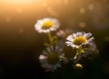 ενάντια στον μπλε ουρανό λουλουδιών μαργαριτών κίτρινο Στοκ Εικόνα
