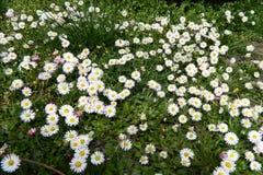 ενάντια στον μπλε ουρανό λουλουδιών μαργαριτών κίτρινο στοκ φωτογραφία με δικαίωμα ελεύθερης χρήσης